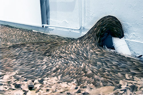 kate mccgwire artist feather sculptures