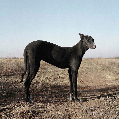 photographer photography daniel naude africanis dogs south africa