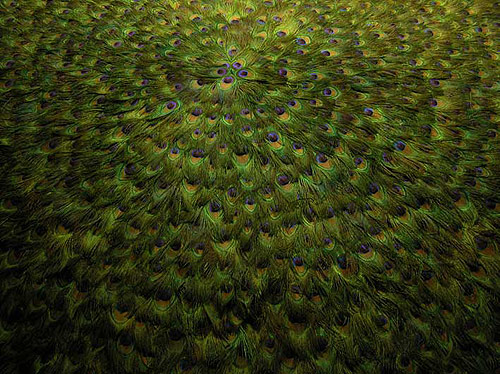 peacock feather installations by Artist Alexandre Joly
