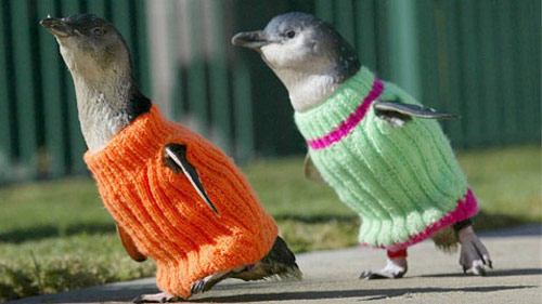 Skeinz saving penguins by knitting sweaters