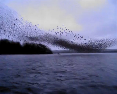 Murmuration on the River Shannon in Ireland