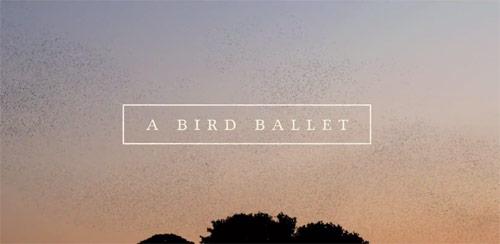 a bird ballet murmuration