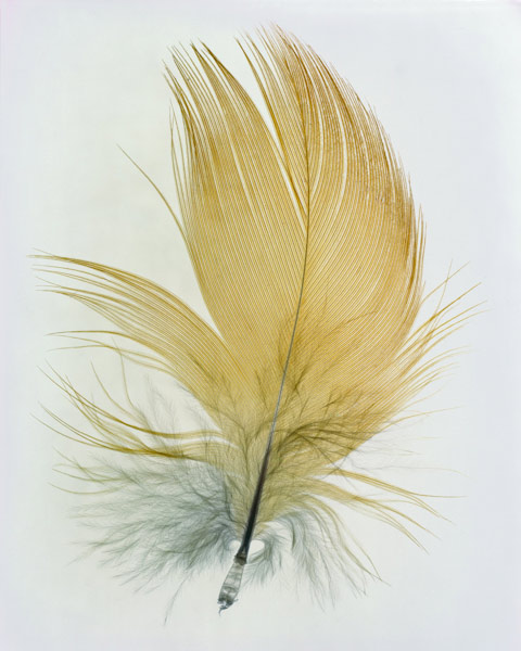"""""""Feathers"""" Camera-less Photography By Taylor Curry"""