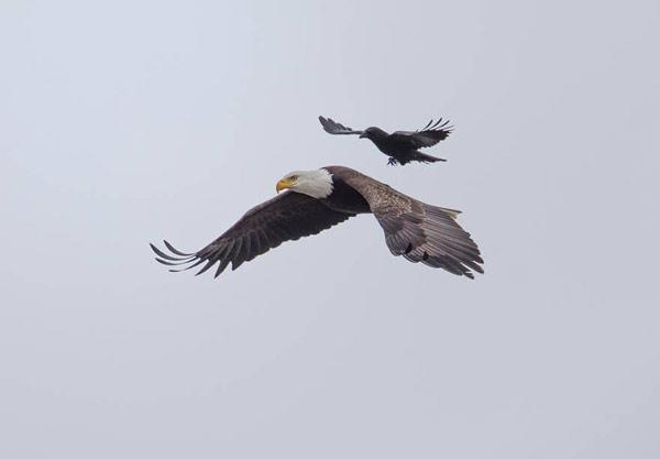 crow-eagle01