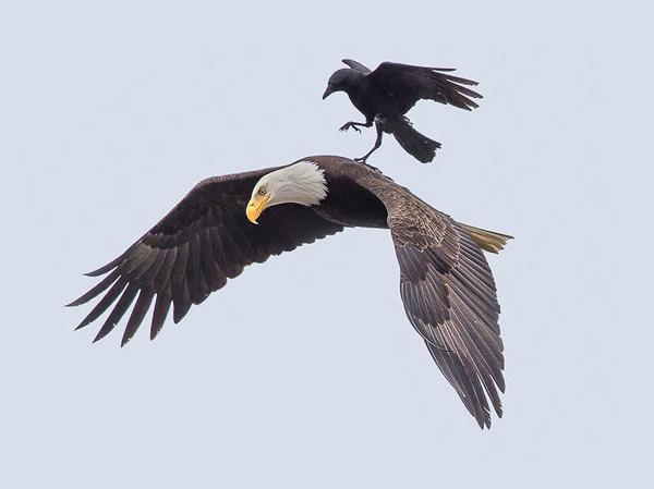 crow-eagle02