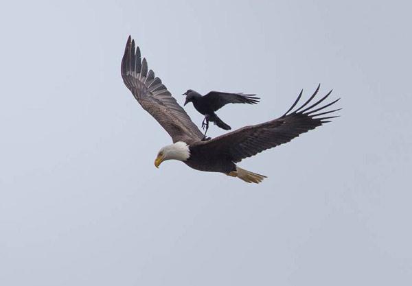 crow-eagle03