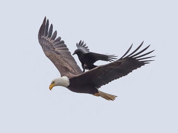 crow-eagle04
