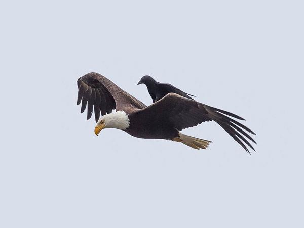 crow-eagle05