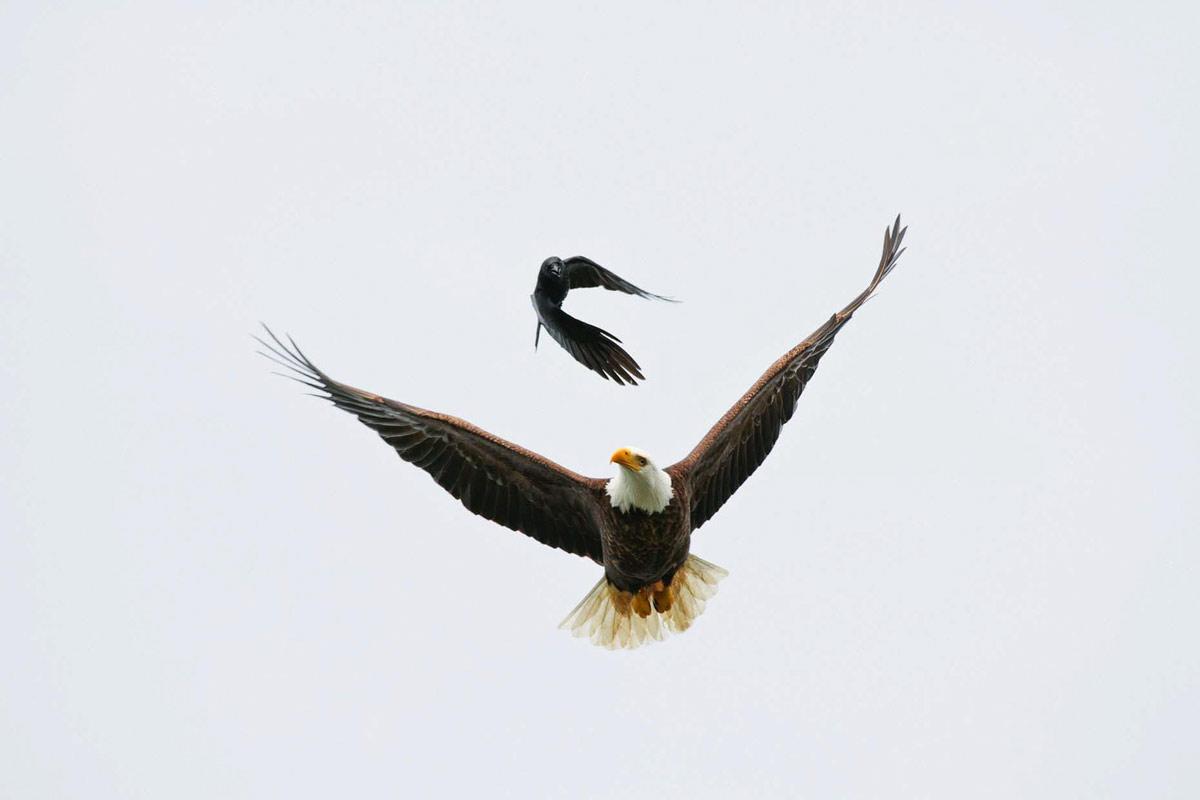 Eagle Crow photo print by Jeremy Koreski